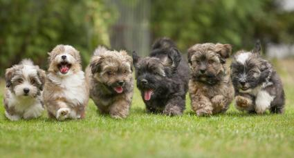 Adorable Havanese puppies running in a yard