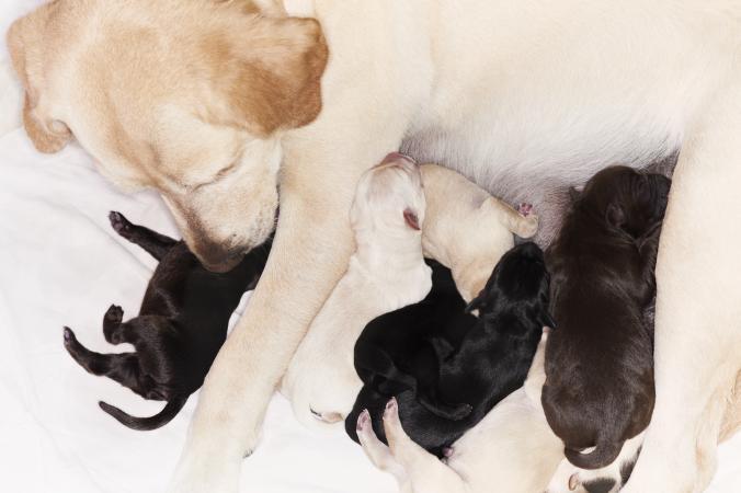 Labrador Retriever puppies nursing