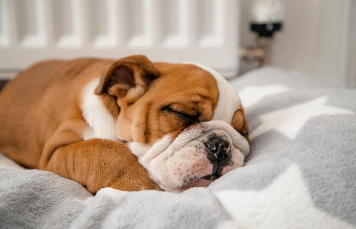 British Bulldog sleeping in a dog bed