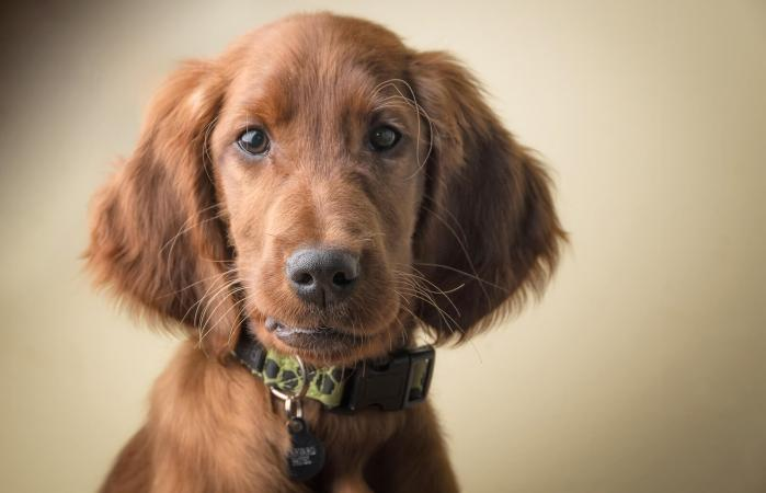 Irish setter puppy portrait