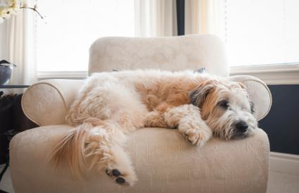 Wheaten dog laying