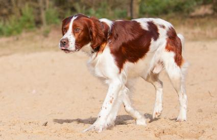 red and white Irish Setter dog