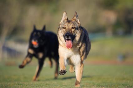 German Shepherds Running On Field