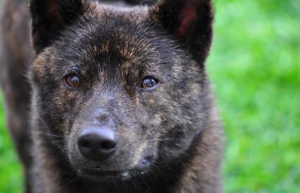 japanese breed Kai dog