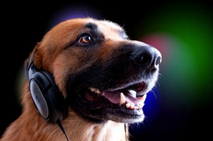 German Shepard wearing set of headphones
