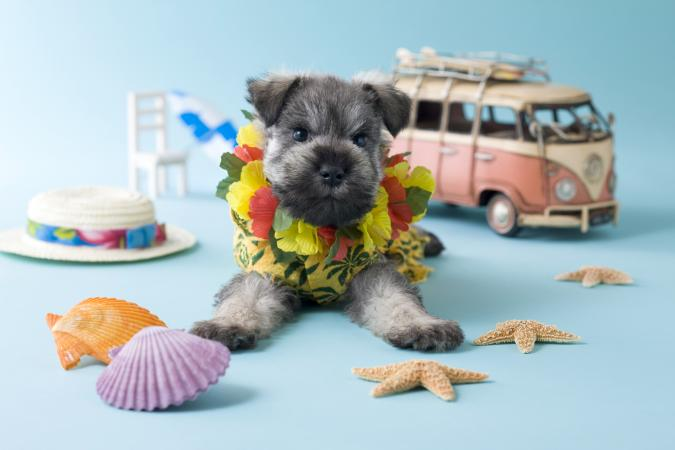 Miniature Schnauzer Puppy with aloha spirit