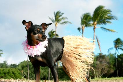 Miniature Pinscher dressed up in a hula skirt