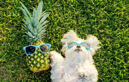 Dog And Pineapple With Sunglasses On Field