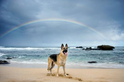 German Shepherd At Beach Against Rainbow
