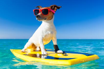 Dog wearing sun glasses on his surf board
