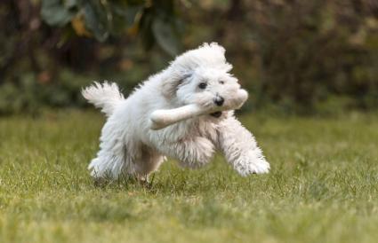 White dog with toy bone running