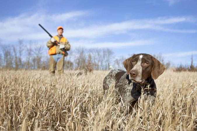 German Wirehair Pointer and man upland bird hunting in the Midwest