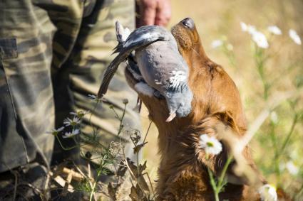 Hunting dog carrying dead bird