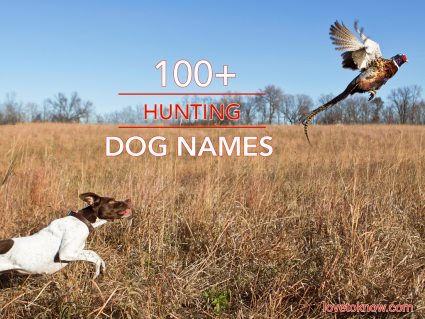 English pointer with rooster pheasant flushing out of a grass field