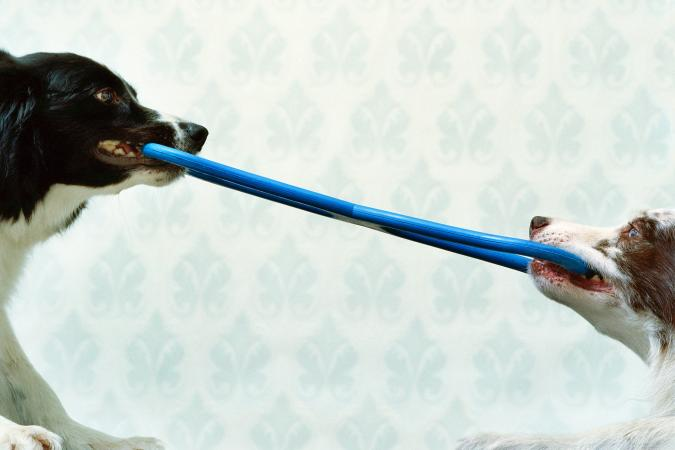 Two border collies tugging rubber toy