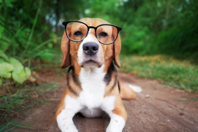 Cute beagle dog with eyeglass