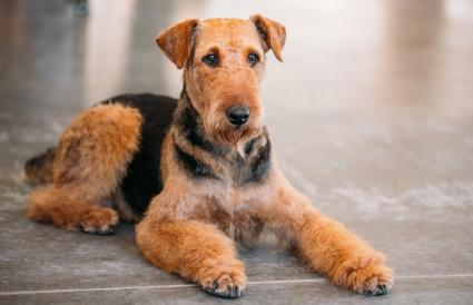 Brown Airedale Terrier