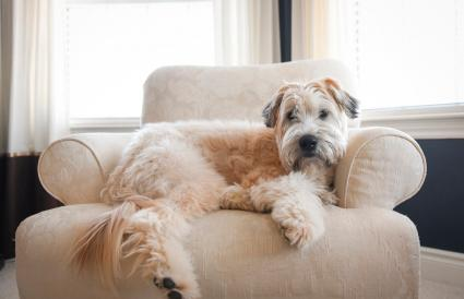 Soft Coated Wheaten dog