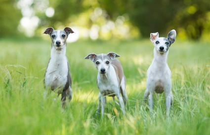 Curious Italian Greyhound Dogs