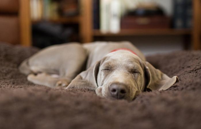 puppy sleeping indoors