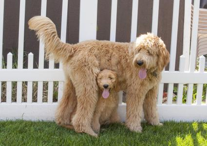 Adult goldendoodle and juvenile standing in front of a white picket fence
