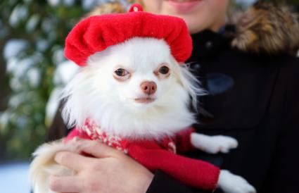 Cute Chihuahua Wearing a Beret