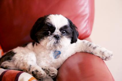 Portrait Of Shih Tzu On Couch At Home