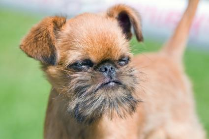 Brussels Griffon playing outside