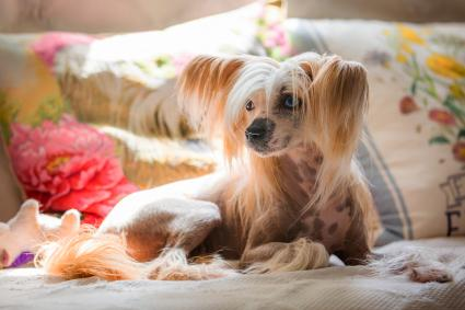 Chinese Crested Dog Laying on the Couch