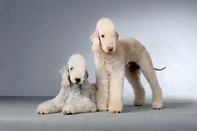 Two Bedlington Terrier posing in a studio