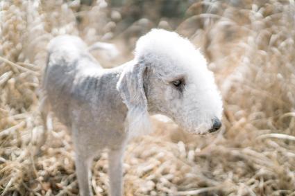 Bedlington Terrier in the sun