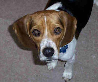 Cody the Beagle