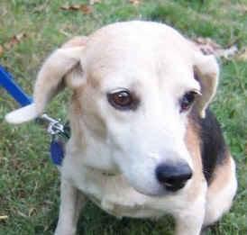 Image of a Beagle on a leash