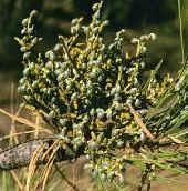 Image of a mistletoe plant