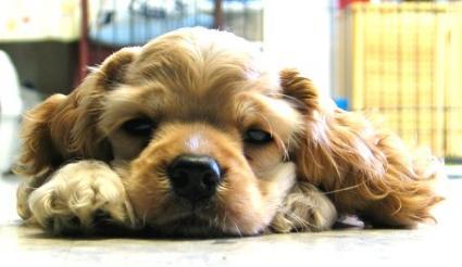 Cocker pup