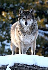 A wolf, the dog's ancestor