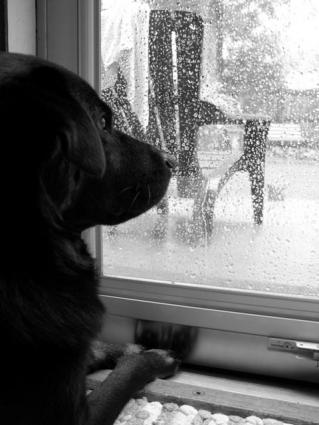 Black Lab looking outside through a window