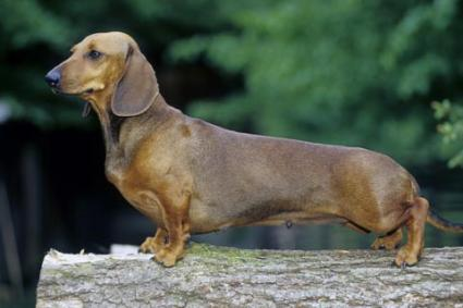 Smooth Coat Miniature Dachshund