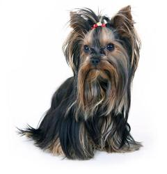 Image of a Yorkshire Terrier in full coat