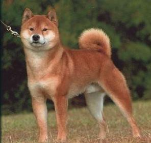 Dog Breeds Similar To Akita