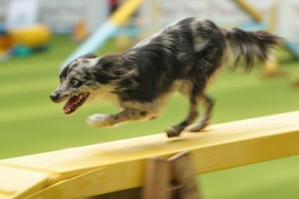 Dog_agility.jpg