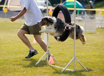 A trained dog running an agility course