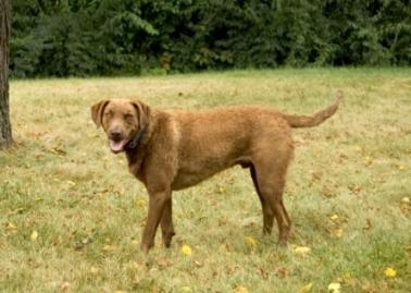 A Chesapeake Bay Retriever outdoors