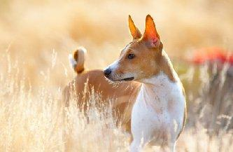 Image of a Basenji dog