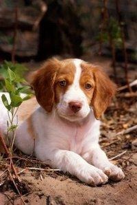 A Brittany Spaniel puppy