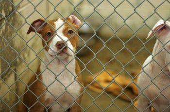 Finding a Boarding Kennel for Pitbulls | LoveToKnow