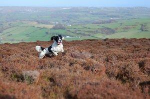 English Springer Spaniel romping through a field