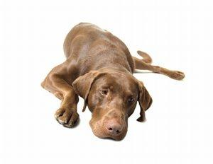 Arthritic Weimaraner dog laying down