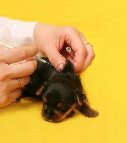 Puppy receiving vaccination