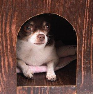 Chihuahua in her dog house.
